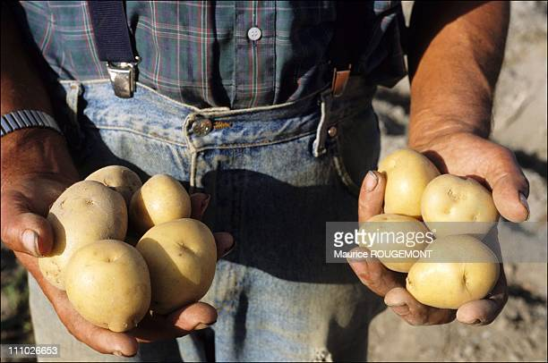 Farmer holding potatoes of Noirmoutier in Noirmoutier Island in Ile de Noirmoutier France on October 17th 2005