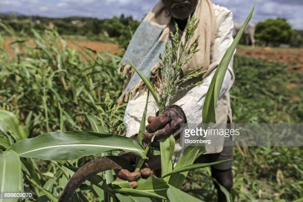 A farmer holds a millet plant for a photograph in a field on the outskirts of Bengaluru India on Friday June 9 2017 Millets were a staple in India...