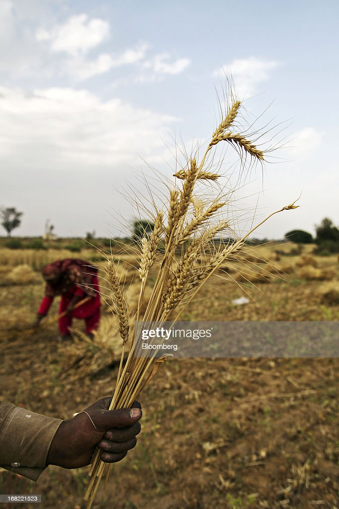 A farmer holds a stalk of wheat for a photograph during a harvest in the Chakwal district of Punjab province, Pakistan, on Saturday, May 4, 2013. Pakistan wheat output to increase this year, the U.S Department of Agriculture's Foreign Agricultural Service said in a report posted today on its website on April 4. Photographer: Asad Zaidi/Bloomberg via Getty Images