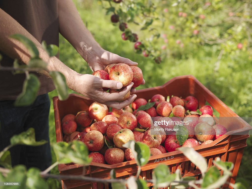 Farmer holds apples in orchard