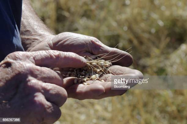 A farmer holds harvested wheat in the palm of his hand for a photograph at a farm near Drysdale Australia on Wednesday Feb 15 2017 Wheat shipments...
