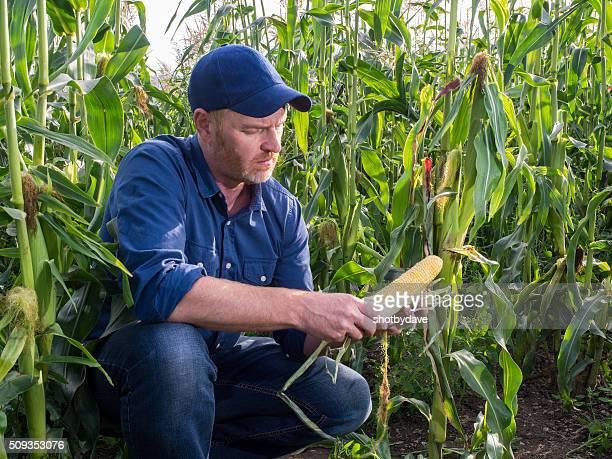 Farmer in a Cornfield Inspecting Corn