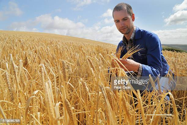 farmer in field of wheat looking at the wheat .
