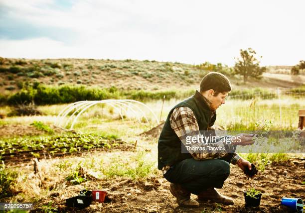 Farmer in garden preparing to plant tomato starts