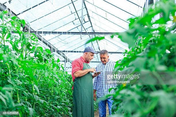 Farmer In Greenhouse Checking Tomato Plants Using Digital Tablet