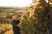Farmer with hat working  in his vineyard