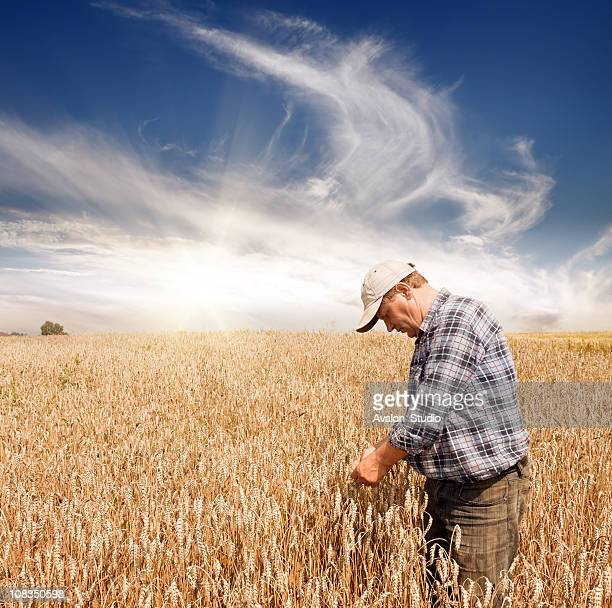 Farmer in the wheat field