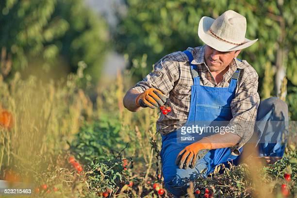 Farmer in Tomato Field