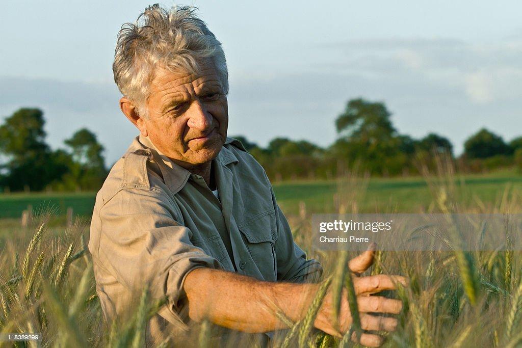 Farmer in wheat fields : Stock Photo