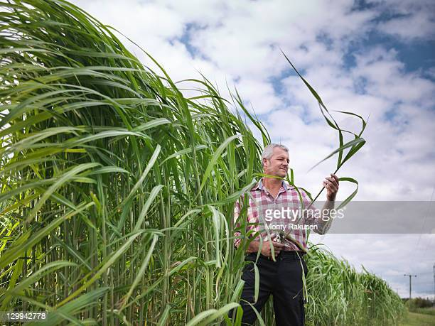 Farmer inspecting biomass fuel 'Miscanthus' for burning in power station