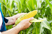 Farmer inspecting corn cobs with maize field at background