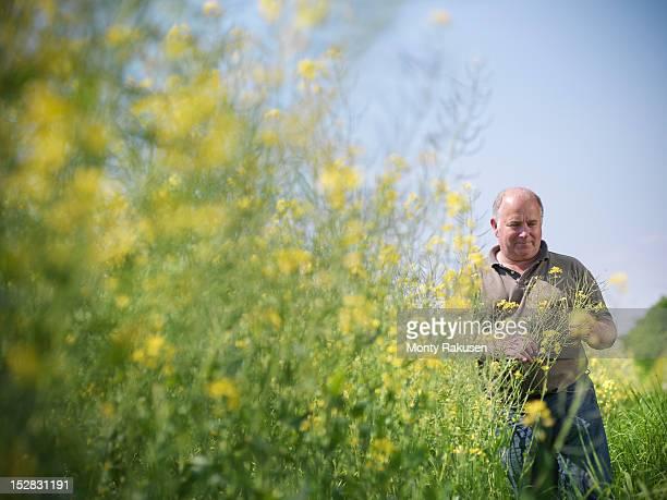 Farmer inspecting crop of oil seed rape (Brassica napus) in field