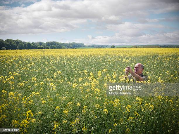 Farmer inspecting crop of oil seed rape (Brassica napus) in field