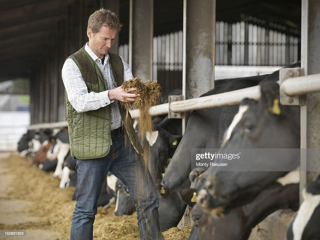 Farmer inspecting feed with cows in dairy shed