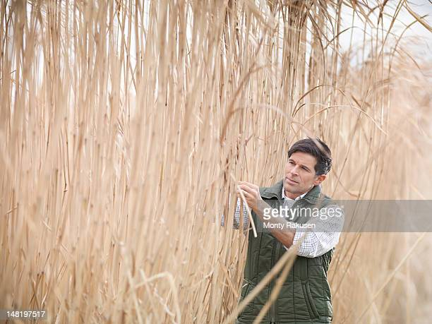 Farmer inspecting fields of Miscanthus crops at harvest time on biomass farm