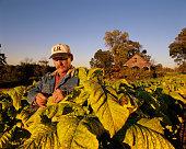 Farmer Inspecting Tobacco Plant Leaves