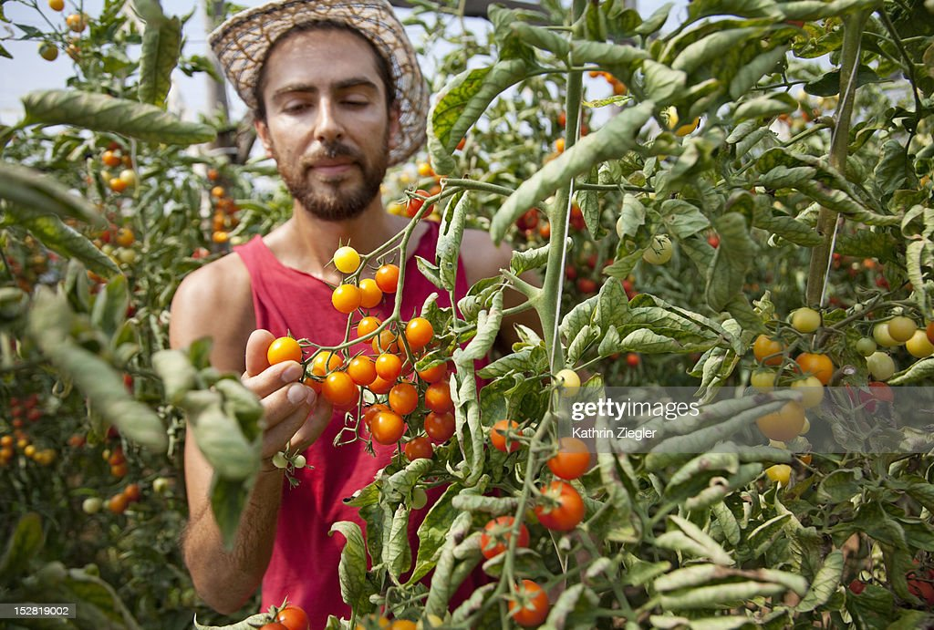 farmer inspecting tomatoes in a greenhouse : Stock Photo