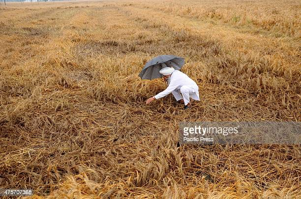 A farmer inspects his damaged wheat crop after heavy rain in the village of Fagan Majra near in Patiala on Thursday