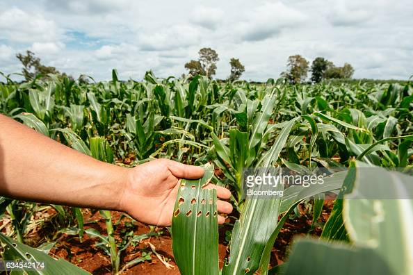 A farmer inspects the damage caused by an infestation of fall armyworms also known as Spodoptera frugiperda on the leaves of corn plants on his farm...