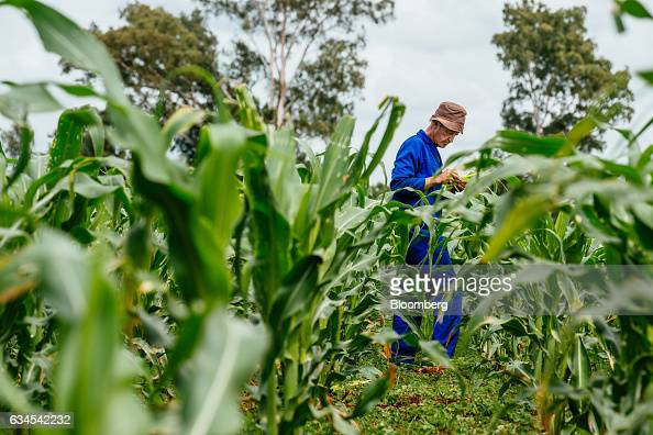 A farmer inspects the damage to his corn crop caused by the caterpillar larvae of fall armyworms also known as Spodoptera frugiperda on his farm...
