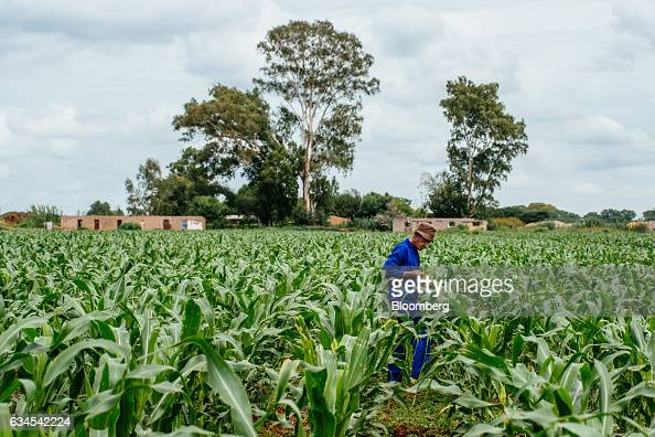 A farmer inspects the damage to his corn plants caused by the caterpillar larvae of fall armyworms also known as Spodoptera frugiperda on his farm...