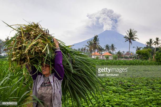 KARANGASEM BALI INDONESIA NOVEMBER 28 A farmer is seen carrying grass while Mount Agung spews heavy volcanic ash on November 28 2017 in Karangasem...