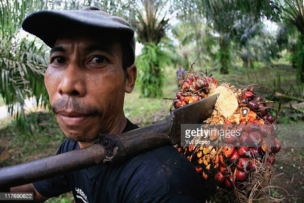 A farmer is seen harvesting oil palm fruit for Crude Palm Oil on June 24 2011 in Bintan Indonesia on June 24 2011 in Bintan Island Indonesia...