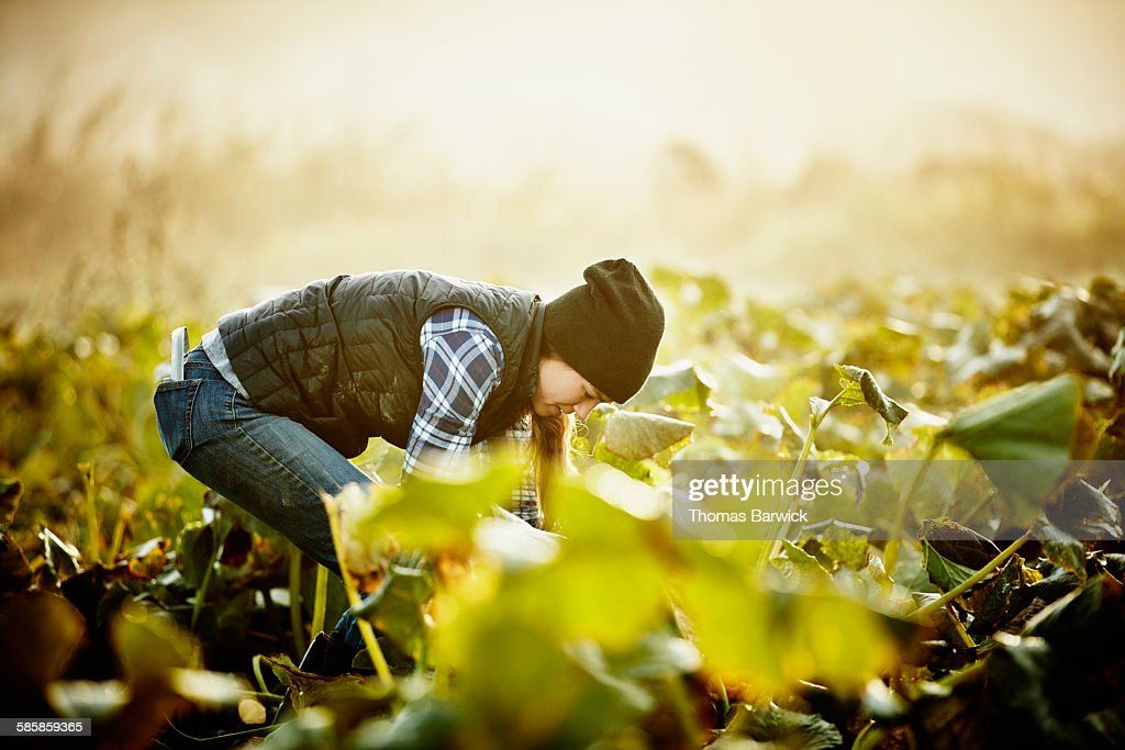Farmer kneeling in field harvesting organic squash