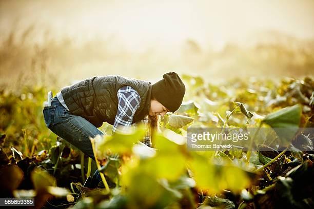 Farmer kneeling in field harvesting organic squash
