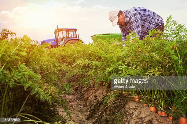 farmer looking after crops in the field carrots.
