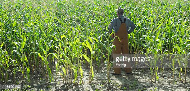 Farmer looking over his corn field