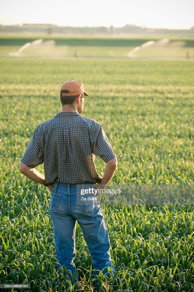 Farmer looking over wheatfield, rear view, summer : Stock Photo