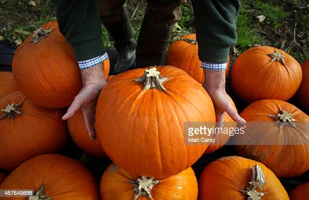 Farmer Mick Smales inspects a pumpkin that has grown on his farm and is waiting to be picked and dispatched in a field at Lyburn Farm in Landford on...