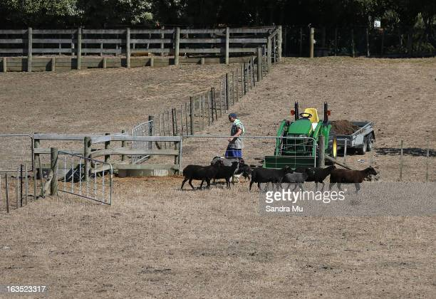 A farmer moves his stock from drought strickened paddocks on March 12 2013 in Drury New Zealand Drought was declared in several North Island areas...