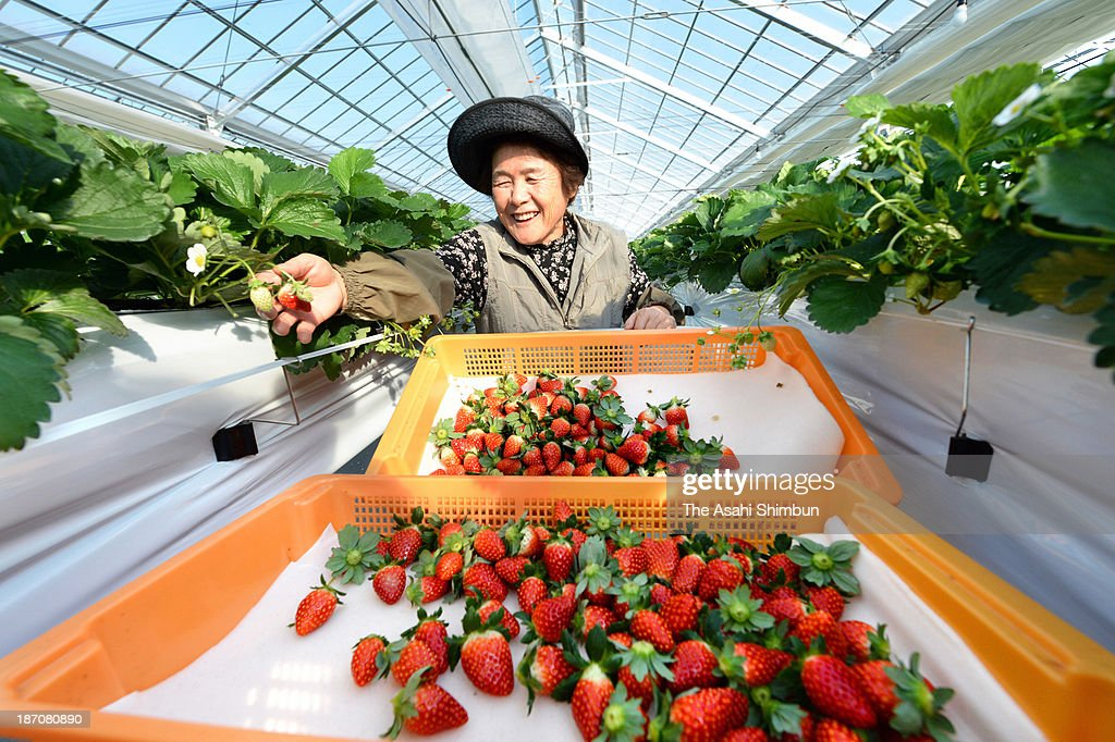 Farmer Noriko Suzuki picks up strawberry with smile on her face at a greenhouse on November 6, 2013 in Watari, Miyagi, Japan. 100 hectares of strawberry greenhouses were destroyed and suffered seawater damages after the tsunami following the Great East Japan Earthquake in 2011. A giant greenhouse was built for 150 farmers to produce strawberry, and the first shipment since the tsunami was made.