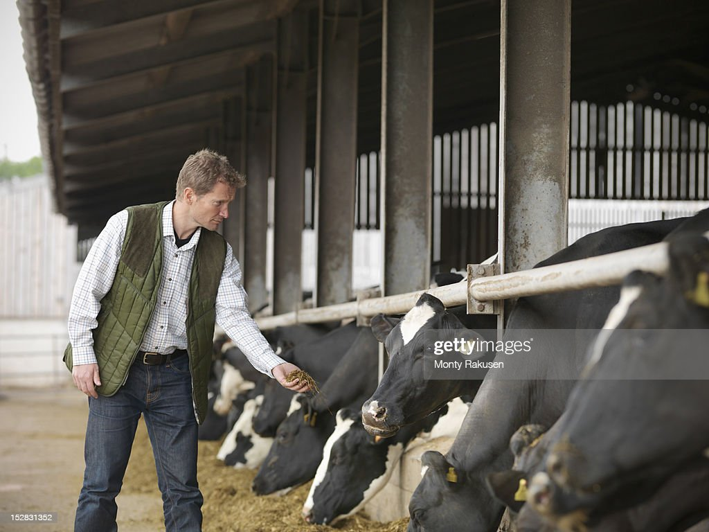 Farmer offering feed to cows in dairy shed