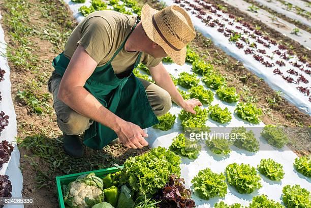 Farmer on a lettuce field