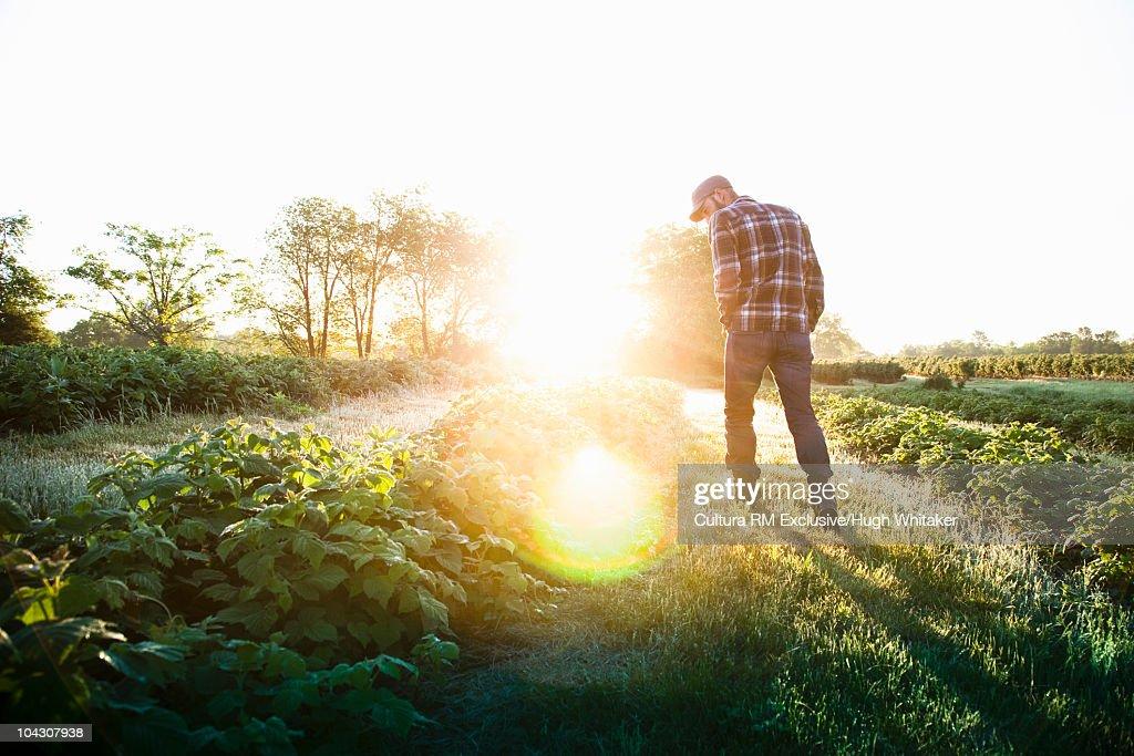 Farmer on berry farm : Stock Photo