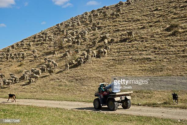 Farmer on quad droving Merino hoggets, Tarras, Otago, New Zealand