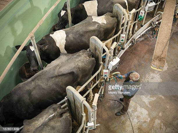 Farmer operating machinery in rotary milking parlour on dairy farm with cows, high angle