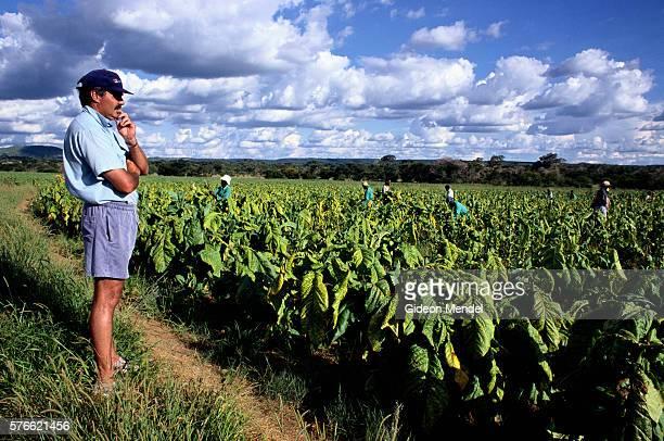 Farmer Overseeing Harvesters in Tobacco Field