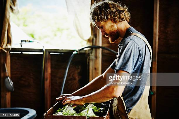 Farmer packing lettuce into box for delivery