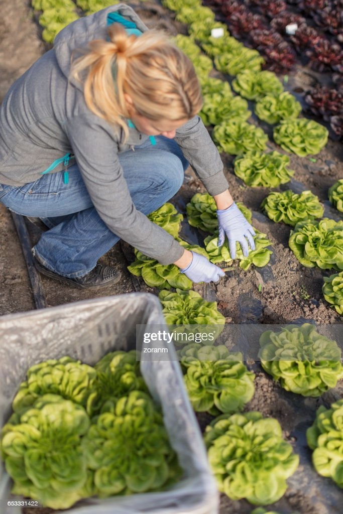 Farmer picking leaf lettuce : Stock Photo
