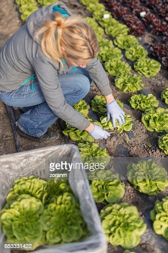 Farmer picking leaf lettuce : Stockfoto