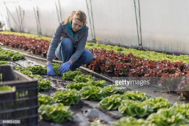 Landwirt Kommissionierung Salat