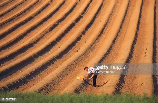 Farmer planting asparagus in terraced field