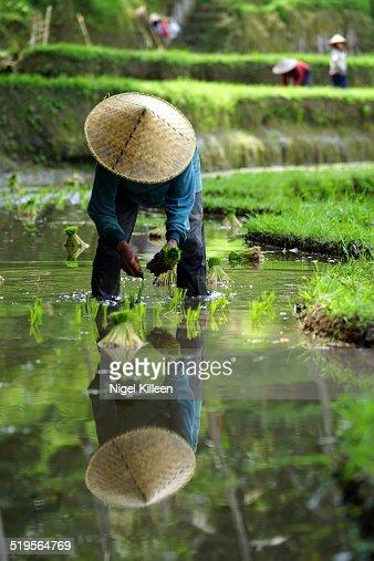 Farmer planting rice, Ubud, Bali