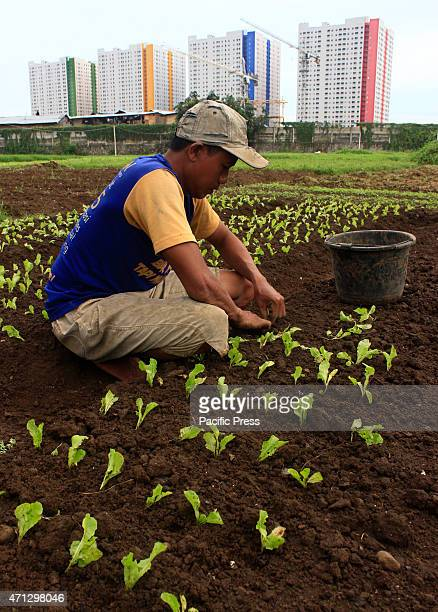 A farmer planting vegetables utilizing vacant land near the apartment and office building being built in downtown Jakarta Indonesia An agricultural...