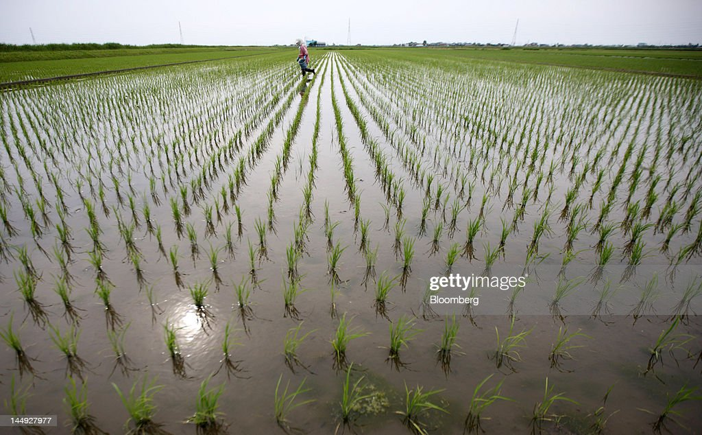 A farmer plants rice seedlings in a paddy field in Katori City, Chiba Prefecture, Japan, on Friday, May 18, 2012. Japan produced 7.7 million tons of rice in the 2010-2011 marketing year, becoming the world's 10th-biggest grower, according to U.S. Department of Agriculture's website. Photographer: Tomohiro Ohsumi/Bloomberg via Getty Images