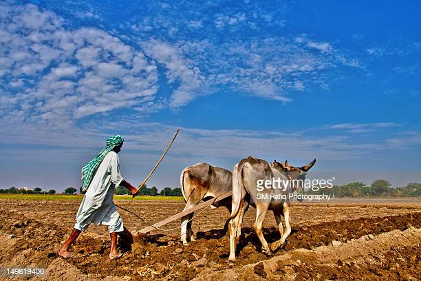 Farmer ploughing with bulls